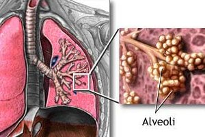 alveoli in our lungs
