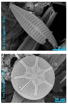 diatoms, phytoplankton with silicate shells